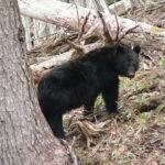 ブナの結実予測とクマ対策